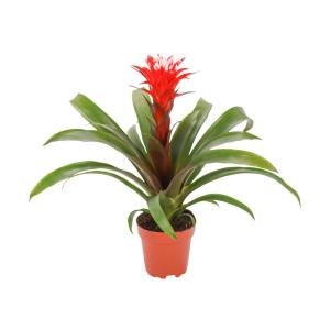 Guzmania orange plant