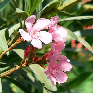 Nerium Flowering Plant