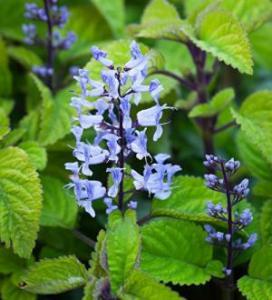 Plectranthus Plant