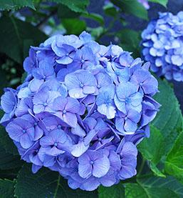 Hydrangea Blue Plant