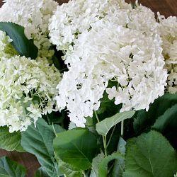 Hydrangea White Plant