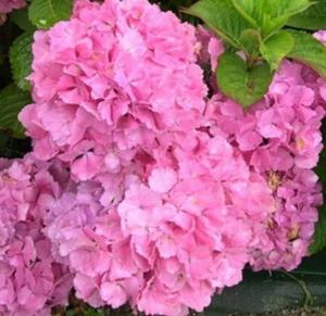 Hydrangea Pink Plant