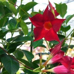Mandevilla Creeper