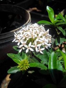 Mini ixora white
