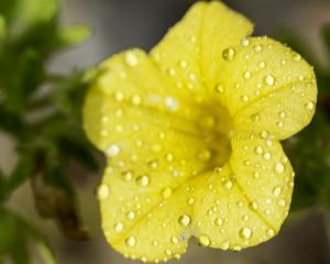 Tecoma Yellow