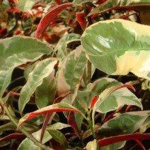 Eranthemum Tricolor