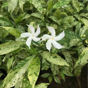 Tabernaemontana variegated