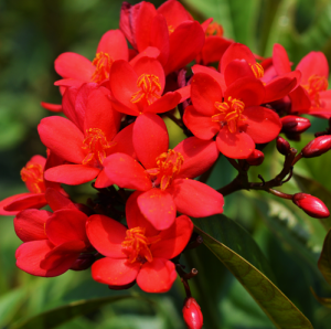 Jatropha Red