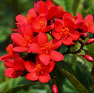 Jatropha Red