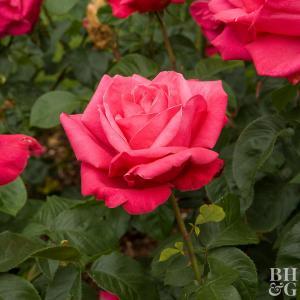 Redrose plant