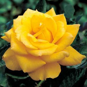 Yellow rose plant