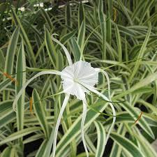 Spider lily variegated