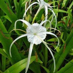 Spider lily green