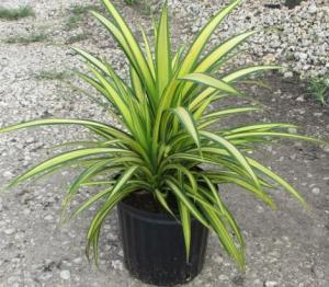 golden pandanus plant