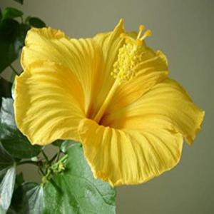 Hibiscus yellow plant