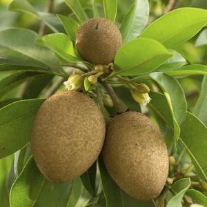 Sapota Plant
