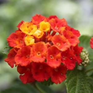 Lantana Red (Yellow)