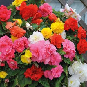 Begonia Mixed Seeds