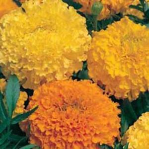 Marigold mixed seeds