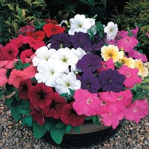Petunia Mixed Color Seeds