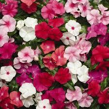 Vinca Mixed Color Seeds