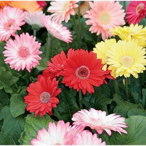 Gerbera Multicolor Seeds