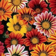 Gazania Mixes Color Seeds