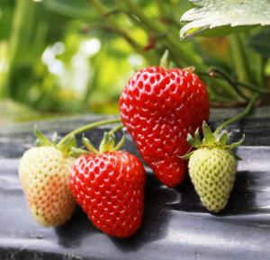 Red Strawberry Seeds